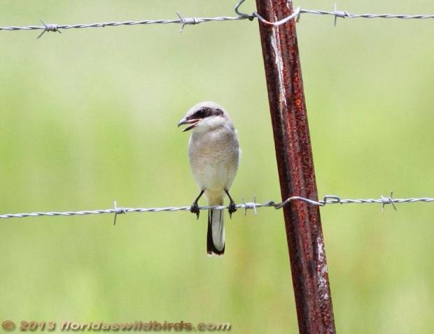 Loggerhead Shrike Juvenile